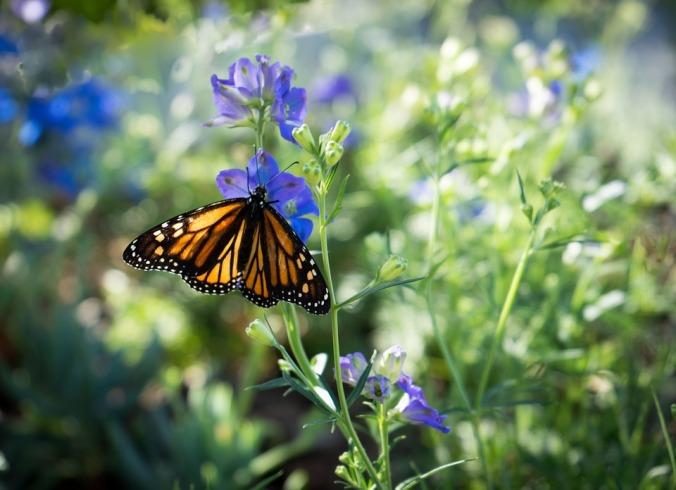 monarch-butterfly-623075_960_720